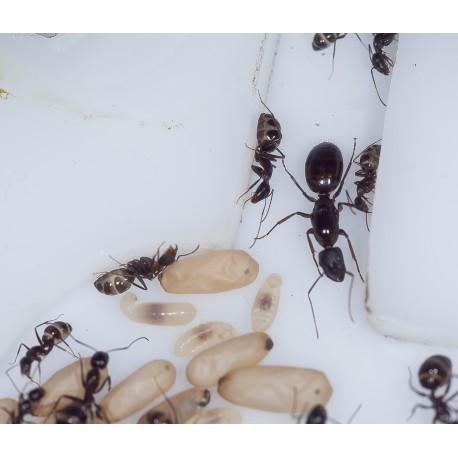 Reina de Camponotus sylvaticus con huevos Anthouse  Hormigas Gratis