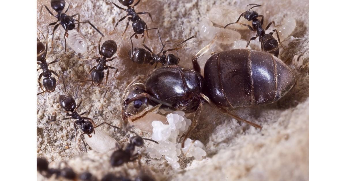 colonia de lasius niger hormigas gratis anthouse
