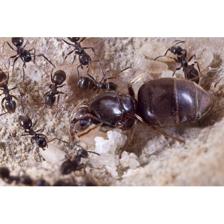Colonia de Lasius niger (Idonea Para Principiantes)