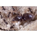 Colony of Lasius niger (suitable for beginners) Ants Free Anthouse