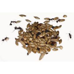 Gemischte Samen- Typ I 50g Nahrung Anthouse