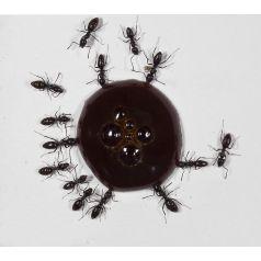 10 ml Proteinsirup (für Königinnen und junge Kolonien) Nahrung