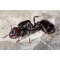 Colonia de Hormigas Messor barbarus con Reina (Idonea Para Principiantes) Anthouse  Hormigas Gratis