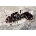 Colony of Messor barbarus (suitable for beginners) Ants Free Anthouse