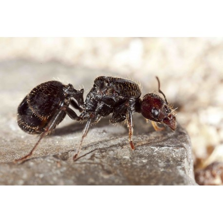 Queen of Messor barbarus Ants Free Anthouse