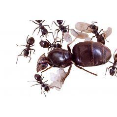 Lasius niger- Kolonie (für Anfänger geeignet)