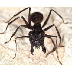 Camponotus gigas (Hormiga disecada) Anthouse Otros Insectos