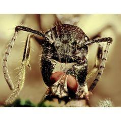 Paraponera clavata (Hormiga disecada)