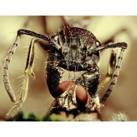 Camponotus gigas (Hormiga disecada)