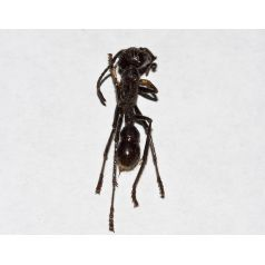 Paraponera clavata unassembled (Dissected ant) Souvenirs Anthouse