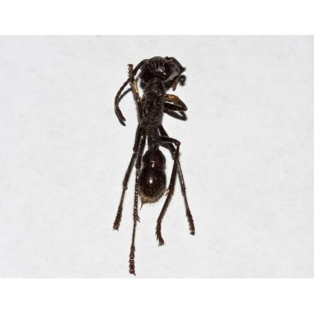 Paraponera clavata sin Montar (Hormiga disecada)