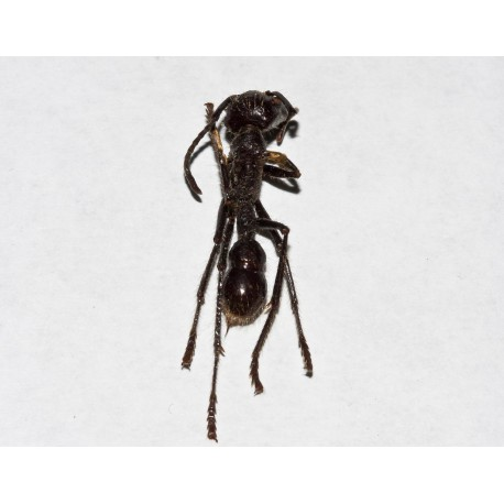 Zerlegte Paraponera clavata (sezierte Ameise) Souvenirs Anthouse