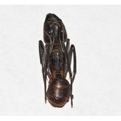 Zerlegte Camponotus gigas (Sezierte Ameise) Souvenirs Anthouse