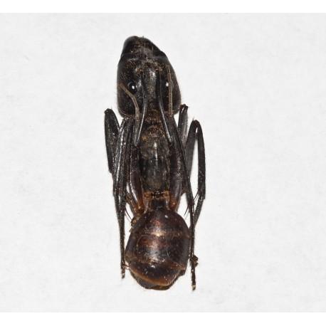 Camponotus gigas sin Montar (Hormiga disecada)
