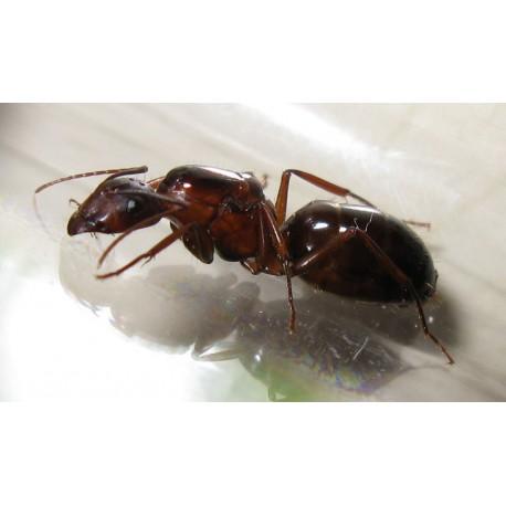 Camponotus barbaricus - Königin (Mit Eiern) Gratis-Ameisen Anthouse