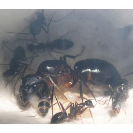 Colonia de Camponotus barbaricus Anthouse  Hormigas Gratis