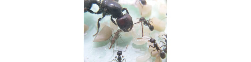 Formiche e colonie di formiche con regina e regine di formiche gratuite